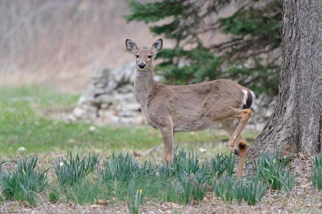 Backyard_Deer_MHH1916-Edit-1024x681.jpg