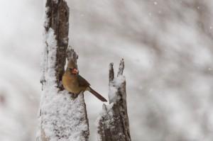 Snow Birds-0114