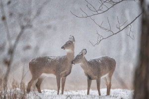 Snow Deer-9202-Edit
