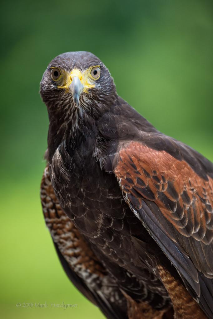 falconry25-349-Edit-682x1024.jpg